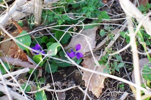 畑で春のお花をみつけた_c0110869_19154507.jpg