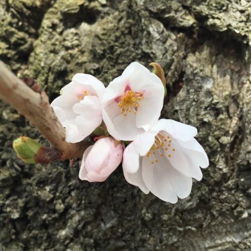 ほころび始めた桜を探す 宝さがし週間_a0134394_07011325.jpeg
