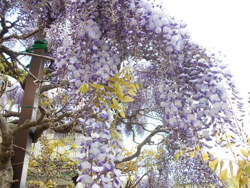 藤の花が満開_a0207196_16141865.jpg