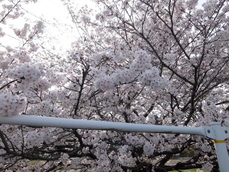 お花見_d0227518_14300503.jpg