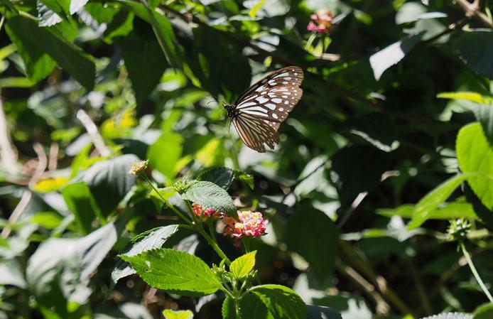 ランタナの花から飛び立つウスコモンマダラ_d0149245_14505589.jpg