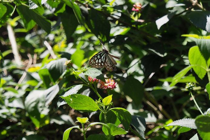 ランタナの花から飛び立つウスコモンマダラ_d0149245_14505870.jpg
