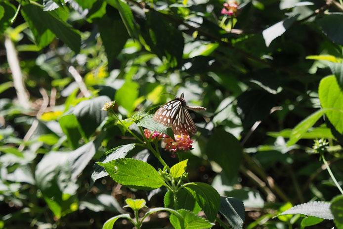 ランタナの花から飛び立つウスコモンマダラ_d0149245_14510434.jpg