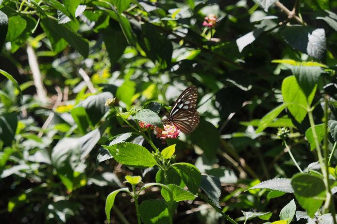 ランタナの花から飛び立つウスコモンマダラ_d0149245_14510730.jpg