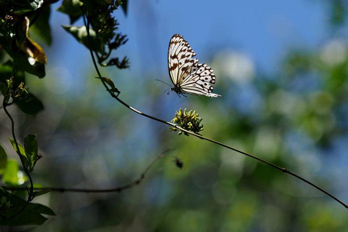 吸蜜中のオオゴマダラの上を蜂が飛ぶ_d0149245_22025703.jpg