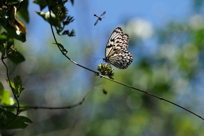 吸蜜中のオオゴマダラの上を蜂が飛ぶ_d0149245_22030291.jpg
