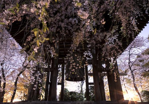 Cherry blossom season has moved to northern Japan._e0194450_04244090.jpg