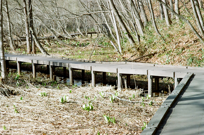 平岡公園の水芭蕉とエゾ立金花_c0182775_1634024.jpg
