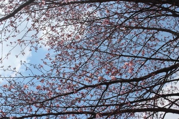 芽吹く季節・・・桜が開花しました!_f0227395_13170265.jpg