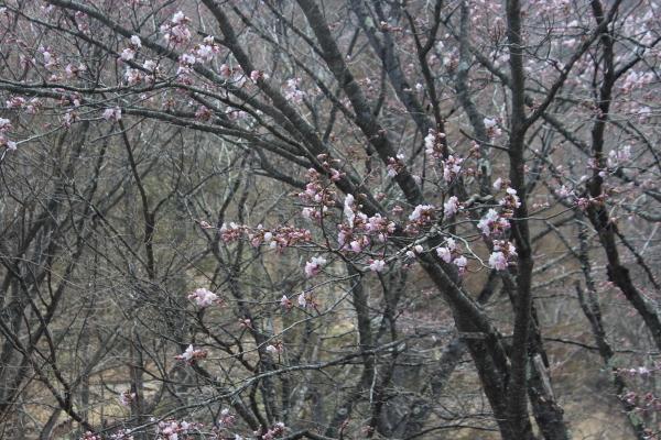 芽吹く季節・・・桜が開花しました!_f0227395_13181287.jpg