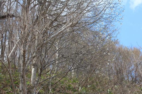 芽吹く季節・・・桜が開花しました!_f0227395_13210365.jpg