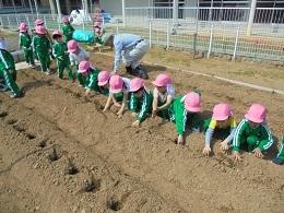 すみれ組 ジャガイモの苗植え_c0212598_14115798.jpg