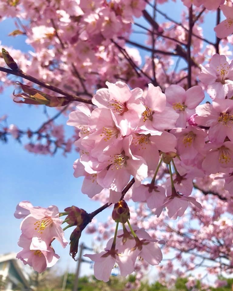 🌸桜 さくら SAKURA🌸 _e0197227_12431560.jpg