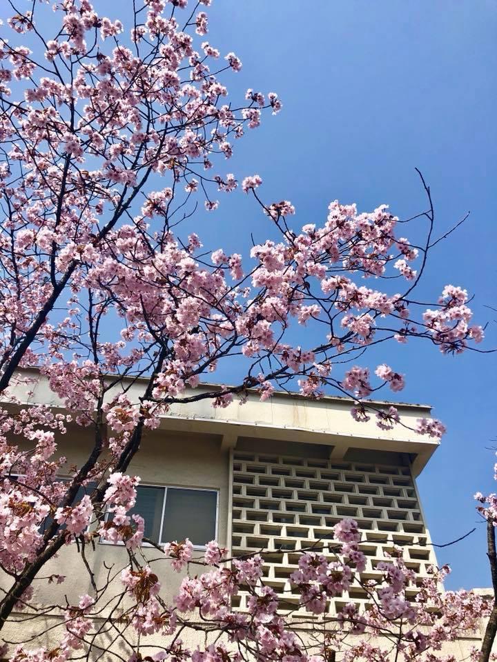 🌸桜 さくら SAKURA🌸 _e0197227_12431586.jpg