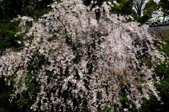 枝垂れ桜ほか_c0093046_15524677.jpg