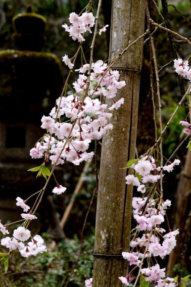 枝垂れ桜ほか_c0093046_15530727.jpg