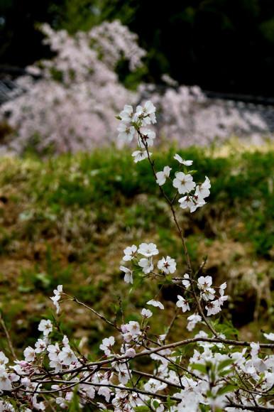 枝垂れ桜ほか_c0093046_15532772.jpg