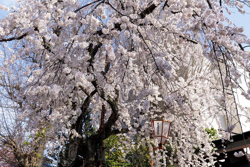 桜咲く京都2018 長建寺のしだれ桜_f0155048_0102794.jpg