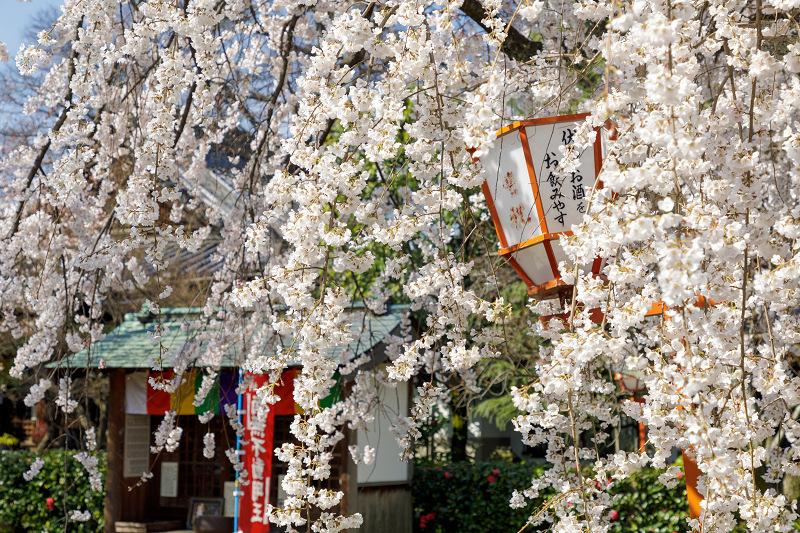 桜咲く京都2018 長建寺のしだれ桜_f0155048_012517.jpg