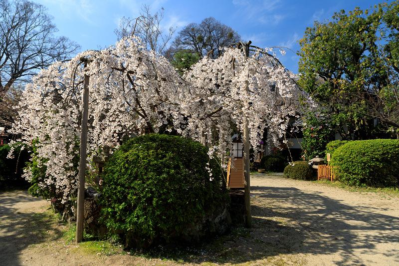 桜咲く京都2018 長建寺のしだれ桜_f0155048_093442.jpg
