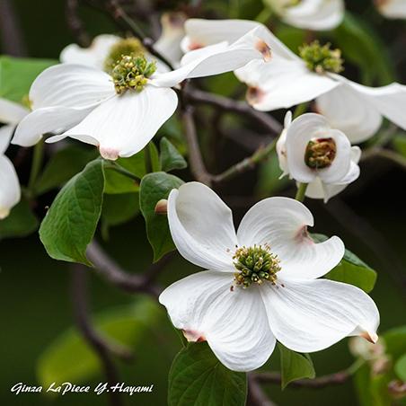 花のある風景 白のハナミズキ_b0133053_00455173.jpg