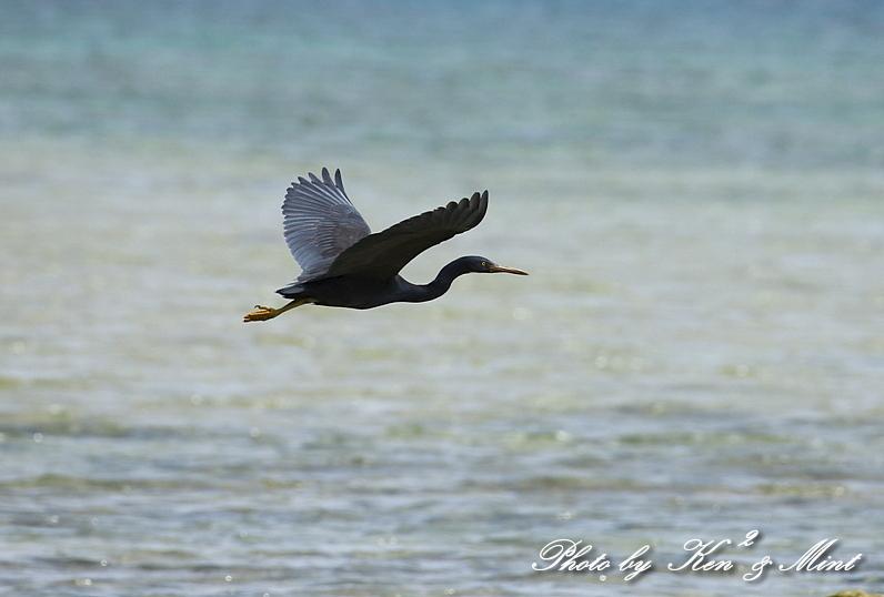綺麗な青い海を飛ぶ「クロサギ」さん♪_e0218518_22213202.jpg