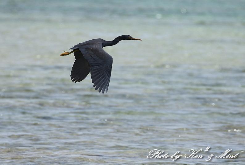 綺麗な青い海を飛ぶ「クロサギ」さん♪_e0218518_22214690.jpg