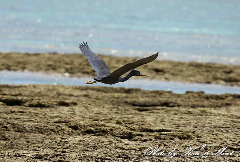 綺麗な青い海を飛ぶ「クロサギ」さん♪_e0218518_22220232.jpg
