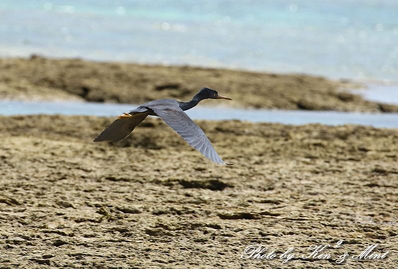 綺麗な青い海を飛ぶ「クロサギ」さん♪_e0218518_22221871.jpg