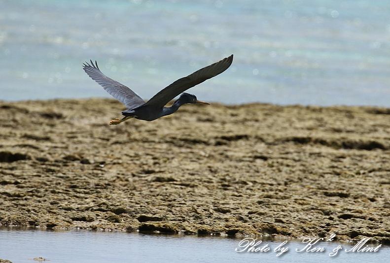 綺麗な青い海を飛ぶ「クロサギ」さん♪_e0218518_22223461.jpg