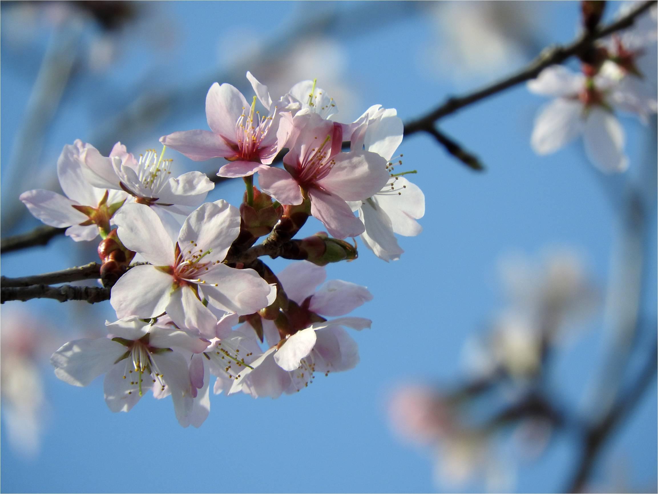 サクラ咲きました!!_b0174425_18342931.jpg