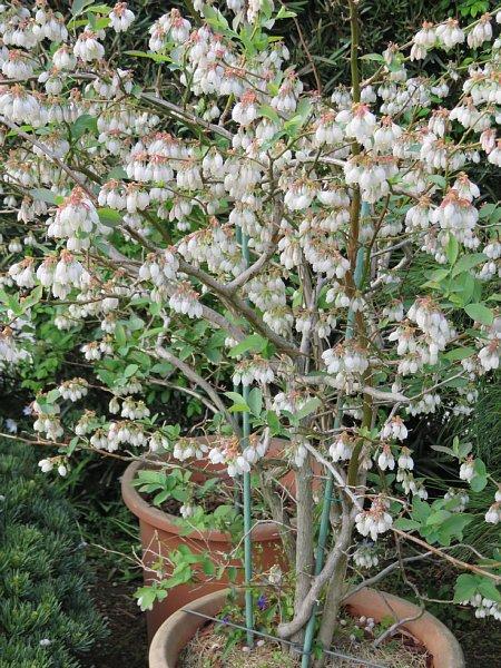 2018年4月29日 ブルーベリーの花が咲く  (*^_^*)_b0341140_18433644.jpg