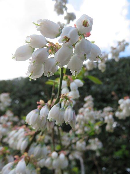 2018年4月29日 ブルーベリーの花が咲く  (*^_^*)_b0341140_18435483.jpg