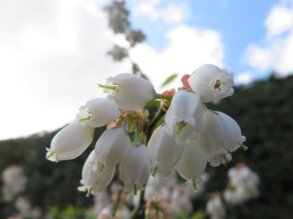 2018年4月29日 ブルーベリーの花が咲く  (*^_^*)_b0341140_18442029.jpg