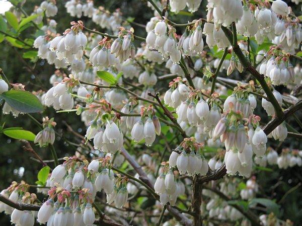 2018年4月29日 ブルーベリーの花が咲く  (*^_^*)_b0341140_18444519.jpg