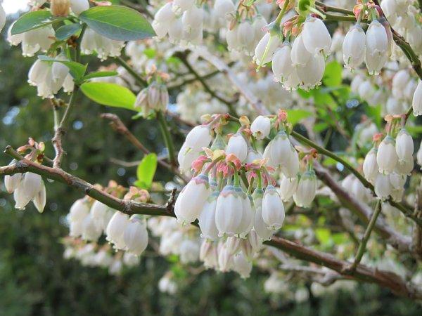 2018年4月29日 ブルーベリーの花が咲く  (*^_^*)_b0341140_18452014.jpg