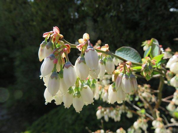 2018年4月29日 ブルーベリーの花が咲く  (*^_^*)_b0341140_18454947.jpg