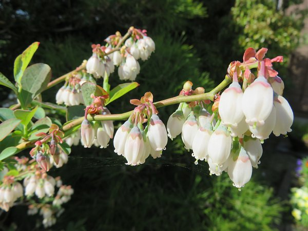 2018年4月29日 ブルーベリーの花が咲く  (*^_^*)_b0341140_18455987.jpg