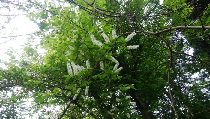 上溝桜(ウワミズザクラ)_c0228241_19391245.jpg