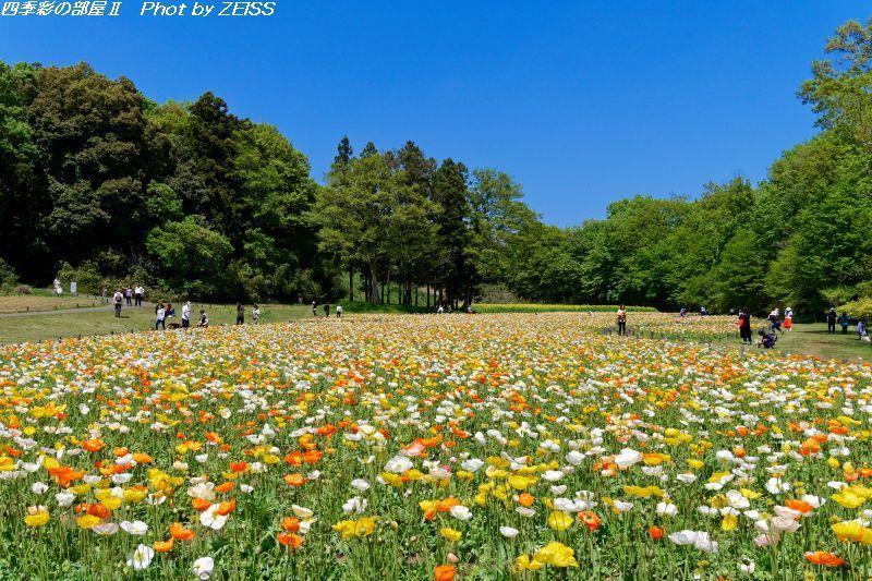 国営武蔵丘陵森林公園の満開のポピー畑_d0358854_11063046.jpg