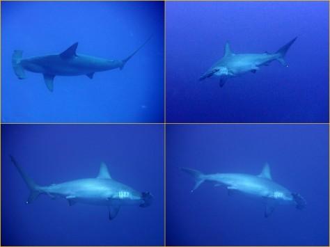 4月22日 ジンベエザメ whale shark_d0113459_17180098.jpg
