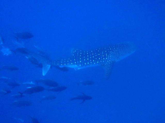 4月22日 ジンベエザメ whale shark_d0113459_18110068.jpg