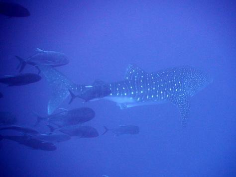 4月22日 ジンベエザメ whale shark_d0113459_18205280.jpg