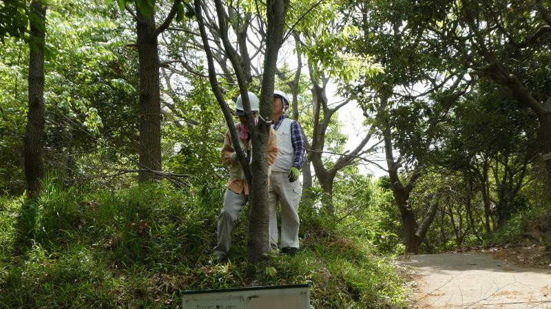 枯れヤマザクラの伐採・・・うみべの森_c0108460_18460736.jpg