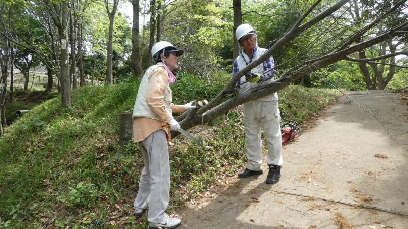枯れヤマザクラの伐採・・・うみべの森_c0108460_18463728.jpg