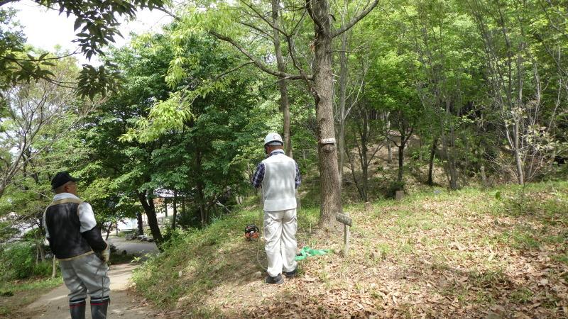 枯れヤマザクラの伐採・・・うみべの森_c0108460_18471021.jpg