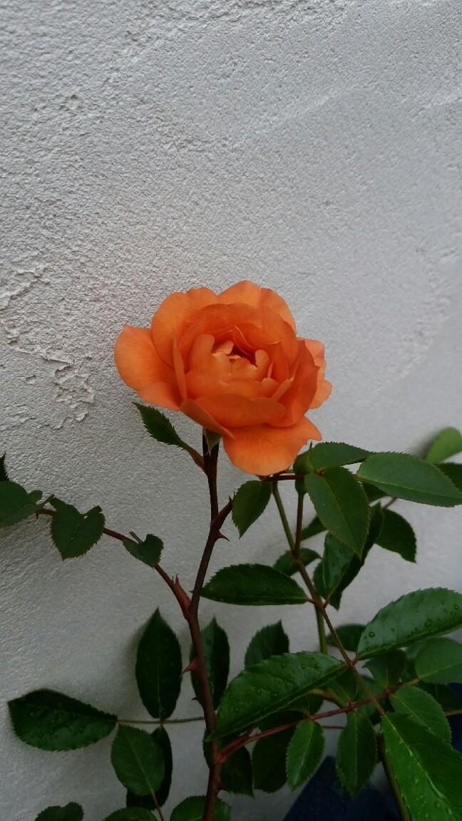 今日咲いた花_f0035506_10431348.jpg