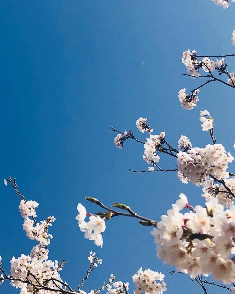 🌸桜 さくら SAKURA🌸 _e0197227_14511709.jpg