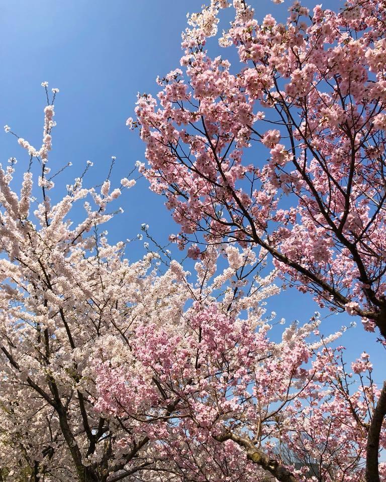 🌸桜 さくら SAKURA🌸 _e0197227_14511713.jpg