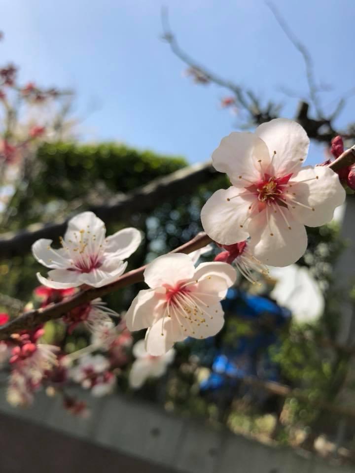 🌸桜 さくら SAKURA🌸 _e0197227_14591601.jpg